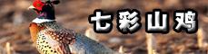 酉阳七彩山鸡,电话:13038339005