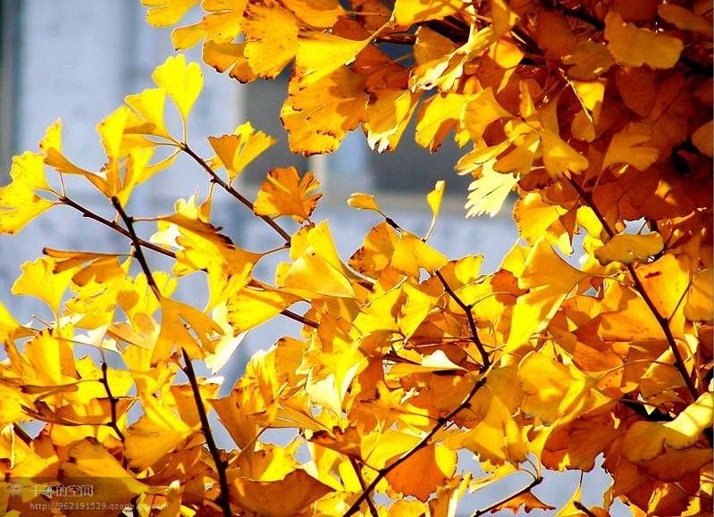 银杏树叶铺满地