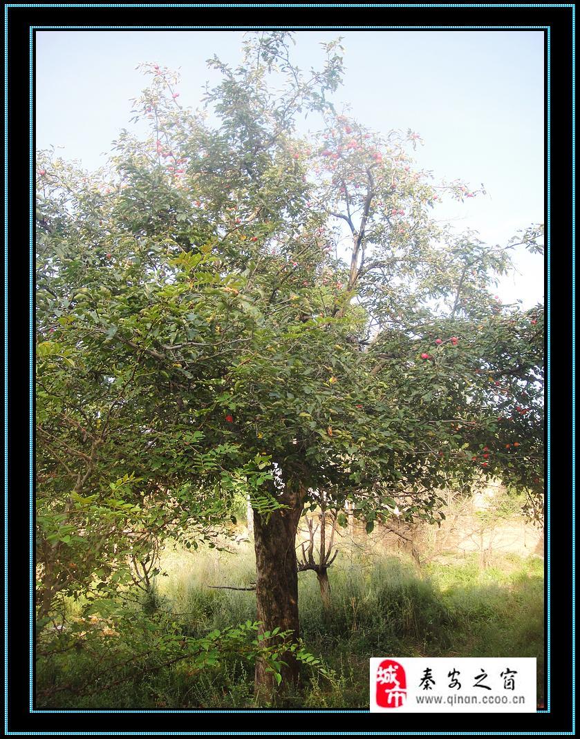 [原创]寻找仙果之树