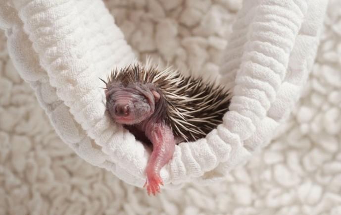 可爱的小刺猬宝宝照片论坛图片