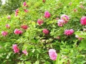 29届彭州牡丹生态旅游节