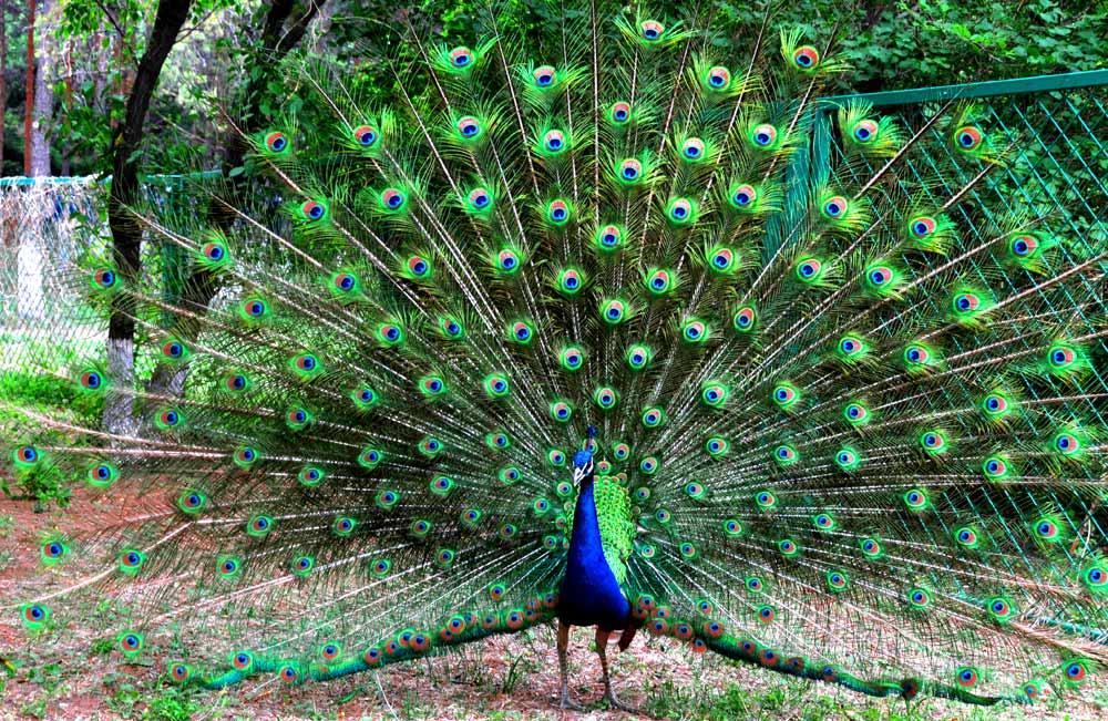 孔雀开屏为什么看见颜色鲜艳东西就开屏