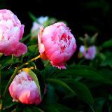 美丽淳朴的芍药花