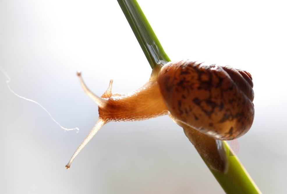 [贴图]微距蜗牛交配全过程(嬉戏的蜗牛)
