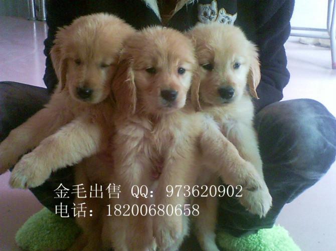 茂名罗威纳犬、金毛幼犬出售