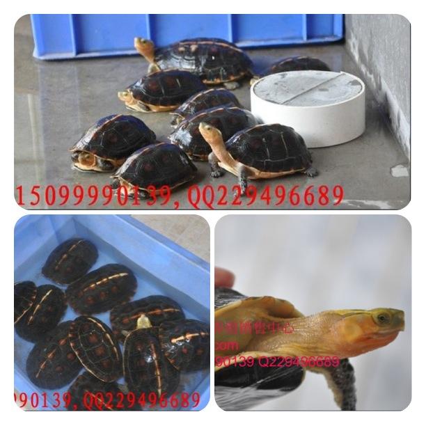 [转贴]出售各种规格石金钱龟,绝对纯南种