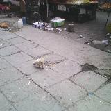[注意]北坪街头的鸡