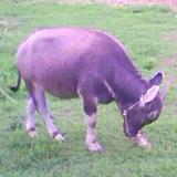 真牛――拍在万泉河畔