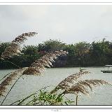万泉河系列之:万泉河边的芦苇