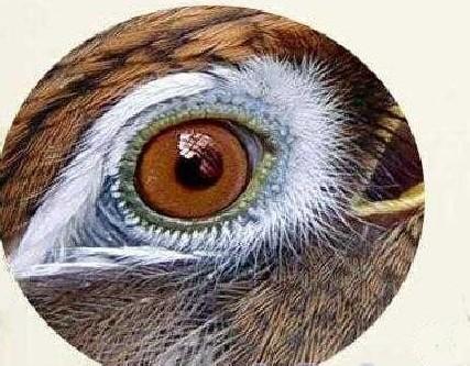 画眉眼睛大青眼最好吗_眉鸟斗鸟眼水图_画眉鸟斗鸟眼水图谱_画眉斗