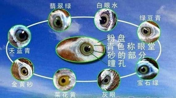 大青眼画眉眼水图_请教这张画眉眼水图中第94张眼水属于那一种