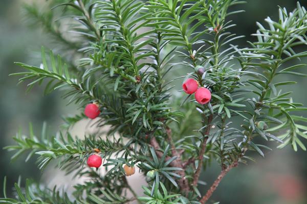 [原创]珍稀植物红豆杉的独特作用分析
