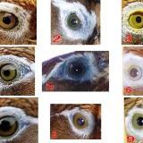 [讨论]画眉的眼睛与性格特征