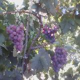 [原创]家里的葡萄熟了,有需要的联系我!