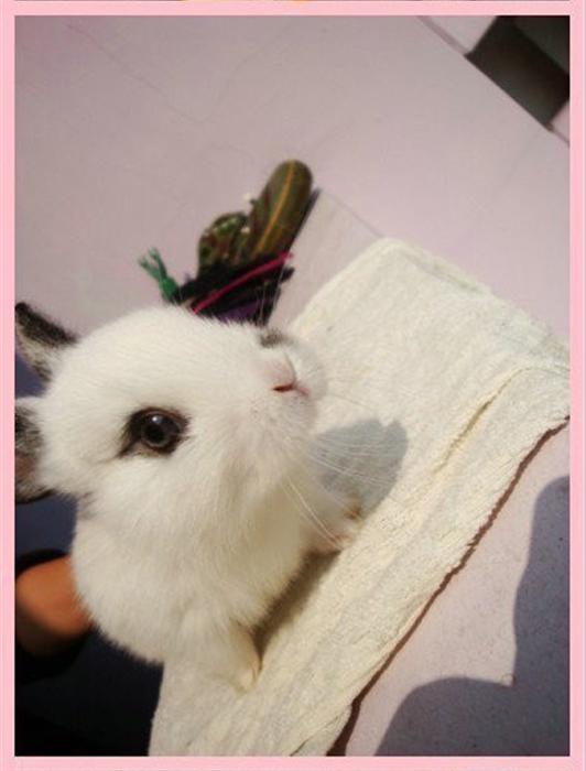 关于宠物兔子的饲养: 1.喂兔兔的食物上不能有生水(特别是自来水),否则兔兔会拉肚子导致Over; 2.喂兔兔的食物含水量较多的话,可以不喂水;反之,喂纯净水或冷开水。饮水器宜小要固定; 3.兔舍最好采用上下结构,下层用托盘接兔兔的虚虚; 4.少给兔兔洗澡,兔兔比猫还要会清洁自己,做到上述第3点,几个月不给兔兔洗澡都没问题; 5.
