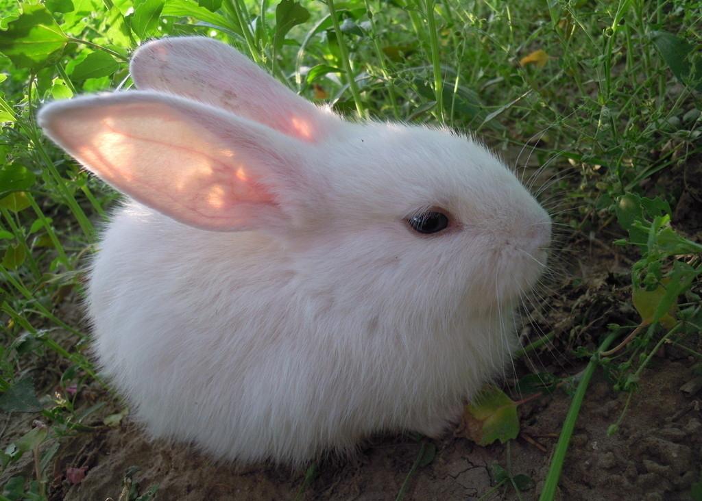 可爱的小白兔_动物图片