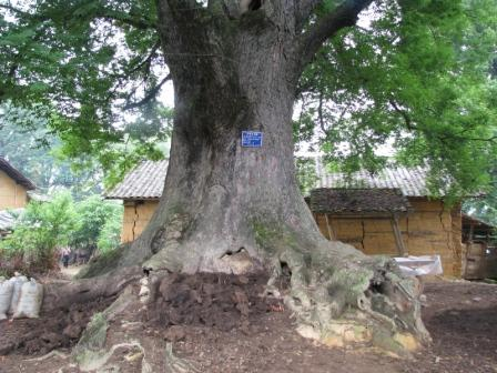 榉木树高清图片