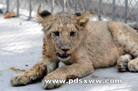 平顶山河滨公园动物园来了两只幼狮