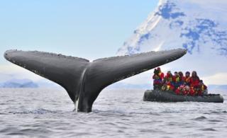 南极游客近距离遭遇座头鲸