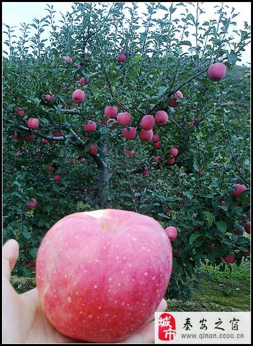 [原创]秦安:苹果红富士