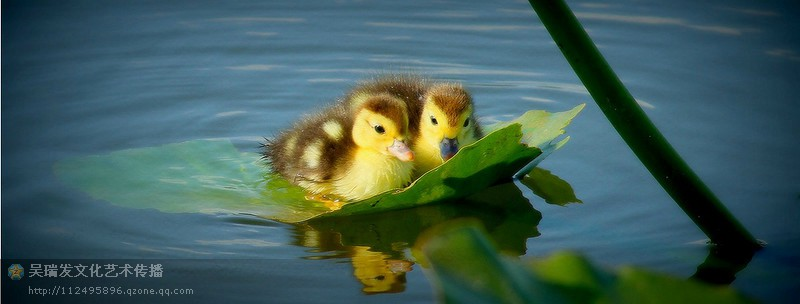 动物世界3―可爱小鸭子