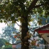 .[ 很少人见过的菩提树和菩提花!!珍藏吧!!!!