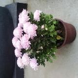去您拍摄的菊花,好看吧