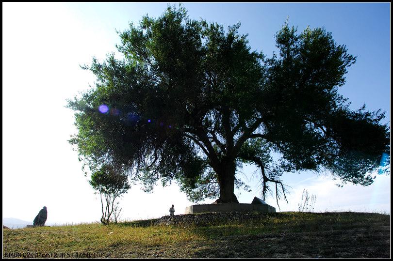 更为奇特的是,该树周围植物生长得十分旺盛,据当地村民介绍,1997年之