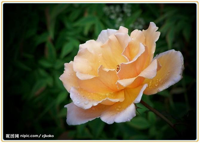 百花园9-月季(中国十大名花之一)