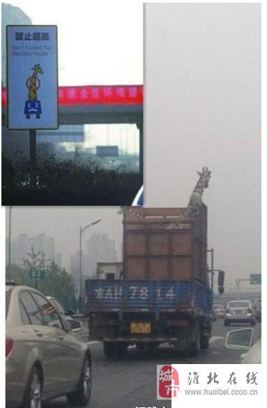 在马路上也能看见长颈鹿!!!