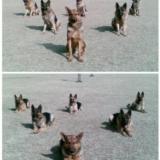 【战友无声】之军警犬