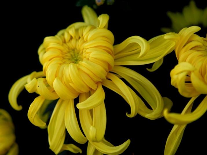 月季、菊花