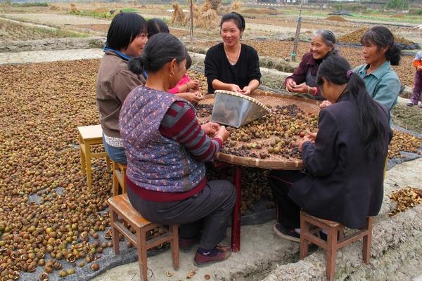苏庄油茶开始飘香今年又是一个丰收年