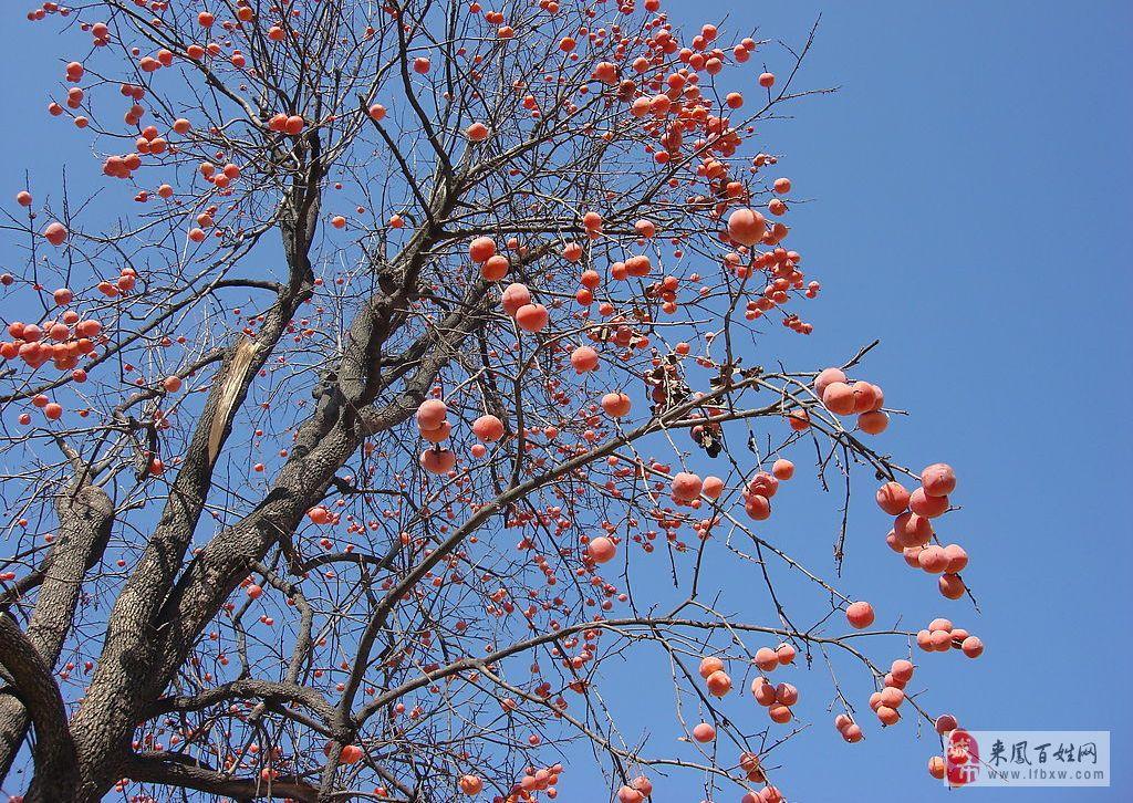 秋天风景油画柿子树