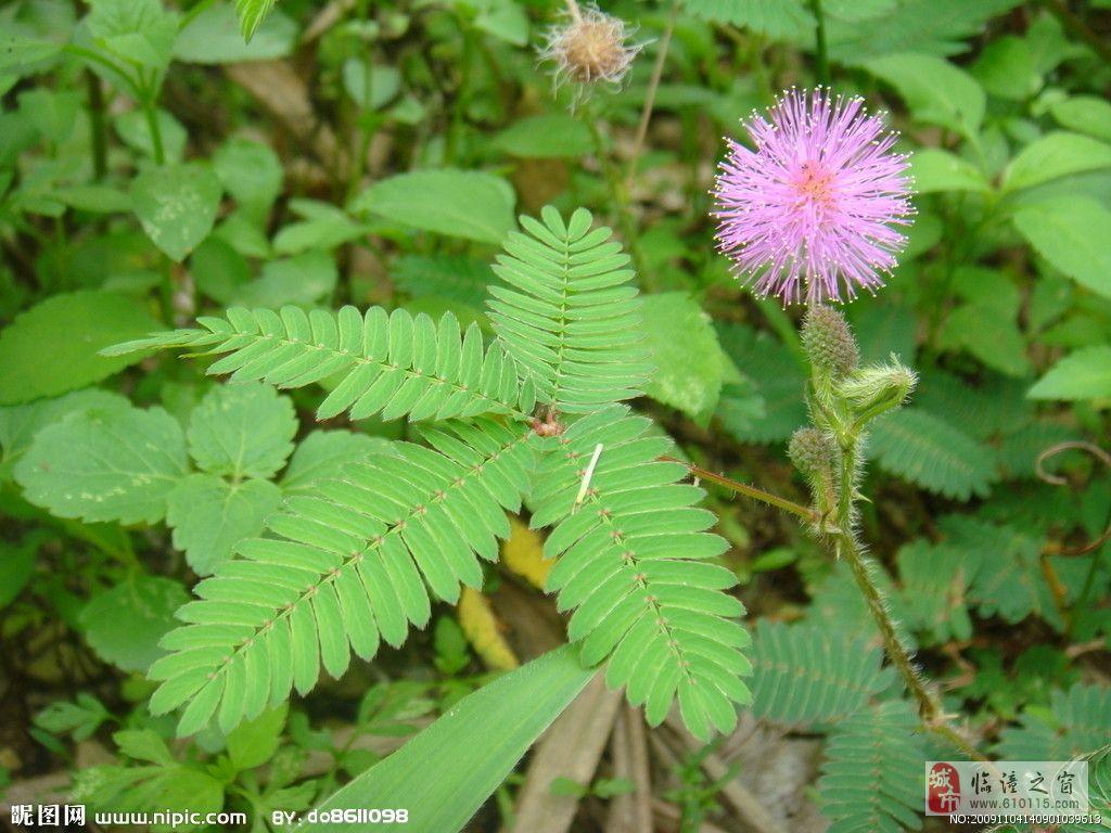 含羞草包含如下一些作用。   1、含羞草能够预报天气。   含羞草是一种能预兆天气晴雨变化的奇妙植物。如果用手触摸一下,它的叶子很快闭合起来,而张开时很缓慢,这说明天气会转晴如果触摸含羞草时,其叶子收缩得慢,下垂迟缓,甚至稍一闭合又重新张开,这说明天气将由晴转阴或者快要下雨了。   含羞草叶子开合快慢所以能预兆天气的阴晴,主要是由于在含羞草叶颈部,有一个小鼓状的薄壁细胞组织叶褥,在叶褥里充满了水,当你用手触及含羞草叶子时,叶子一振动,叶褥下部细胞里的水分立即向上向两侧流去,这样叶褥下部便瘪了下去,而上部却