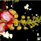 [分享]极其罕见的菩提树和菩提花