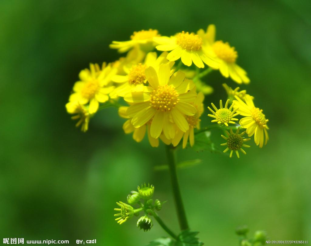 家里的菊花是不是一已经开满山野?