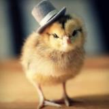 小鸡也卖萌,可爱至极