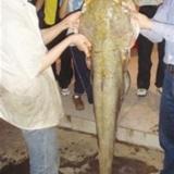 河中钓起罕见巨鲇重27公斤