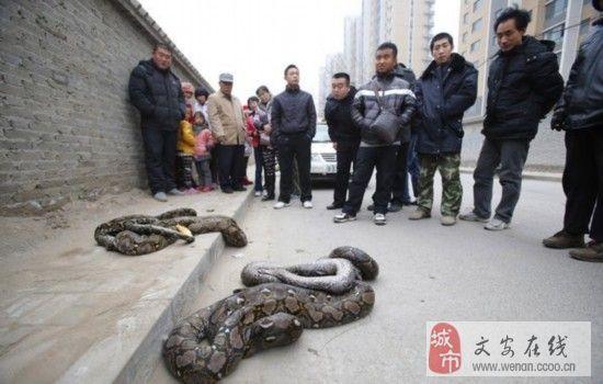 将蟒蛇装袋后送到市动物园鉴定