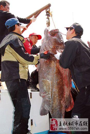钓鱼爱好者钓上1.91米隆头鱼创韩国记录