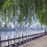 江北大堤上的垂柳