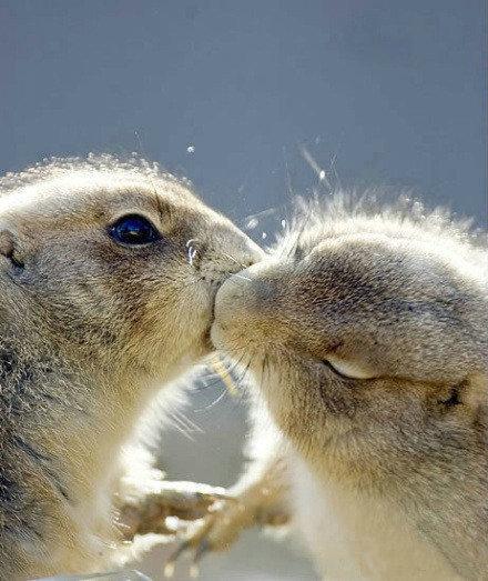 [贴图]两只松鼠kiss