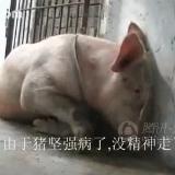 """[贴图][转贴]身残志坚 两条腿的""""猪坚强"""""""