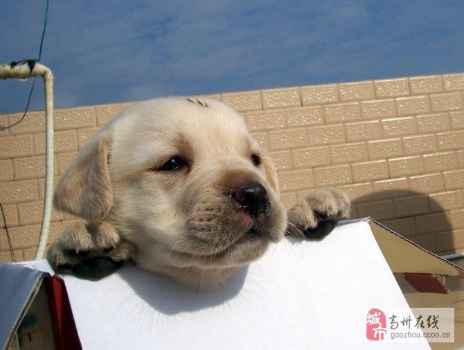 [原创]纯种狗狗出售~~~~~~~~~~~~~~~~~