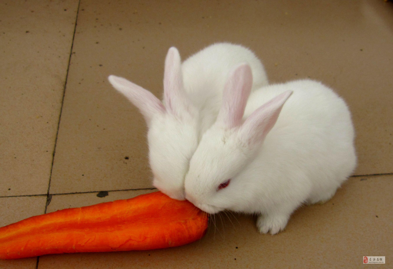 小白兔白又白桃树下的小白兔教案 高清图片