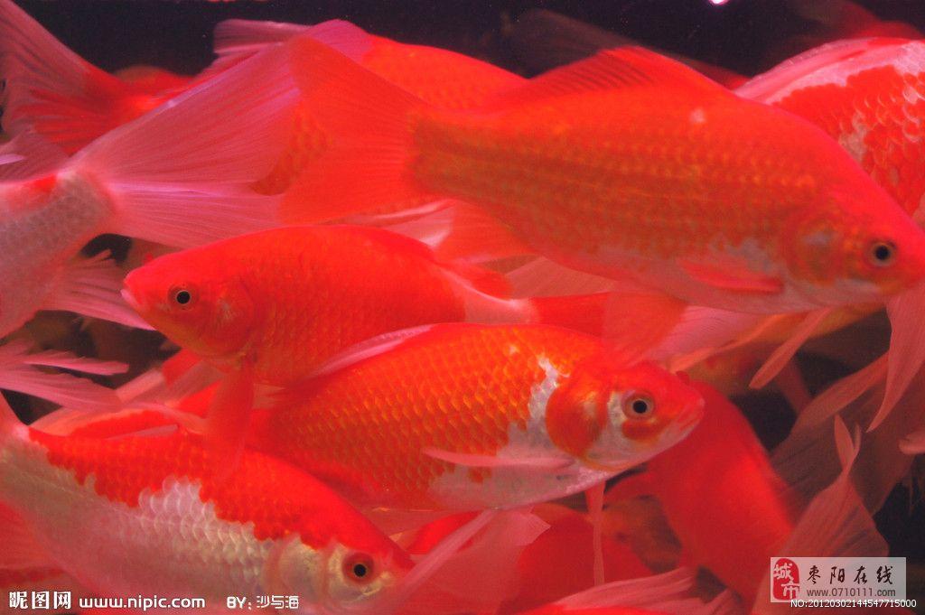 小型冷水淡水观赏鱼【相关词_ 冷水淡水观赏鱼之家】