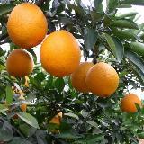 吉潭果园有13万斤脐橙出售