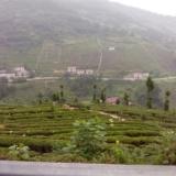 [分享]竹溪是茶叶之乡,一定要懂得用茶治病方