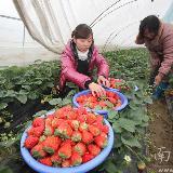 地�a草莓早上市